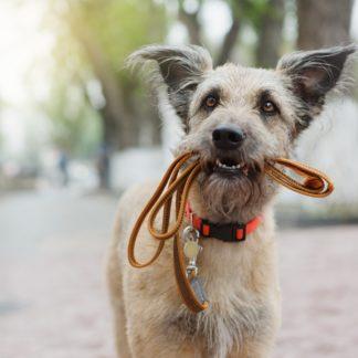 wyprowadzanie psa bez smyczy
