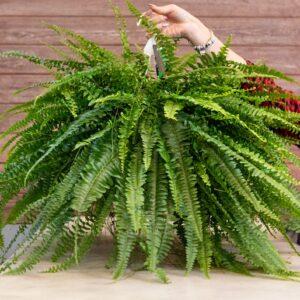 paproć bostońska_zdrowe rośliny doniczkowe