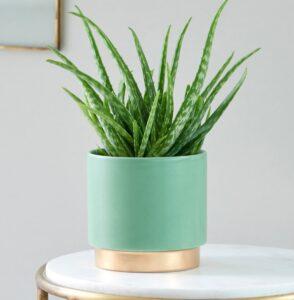 Zdrowe rośliny doniczkowe - Aloes