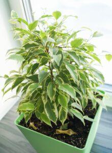 Zdrowe rośliny doniczkowe - fikus